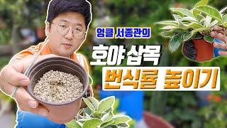 호야 키우기 N°1 hoya plant care wax plant 💐 хойя растение 🌈 هويا النبات
