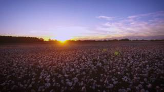 Alabama Cotton Sunset in 4k