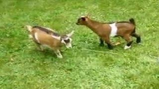 Adorable dwarf goat knocks over playmates
