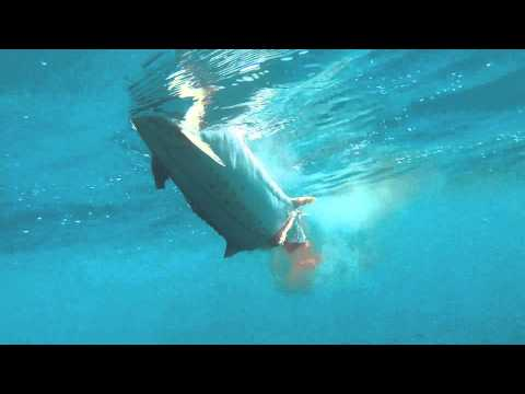 Barracuda Attacks King Mackerel Then Turns On GoPro