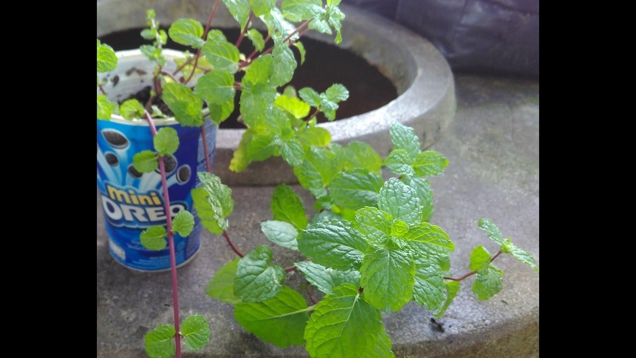 Manfaat daun mint /Mentha cordifolia