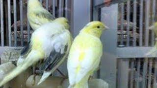 Tips Mengatasi Burung Kenari Yang Mengalami Kegemukan