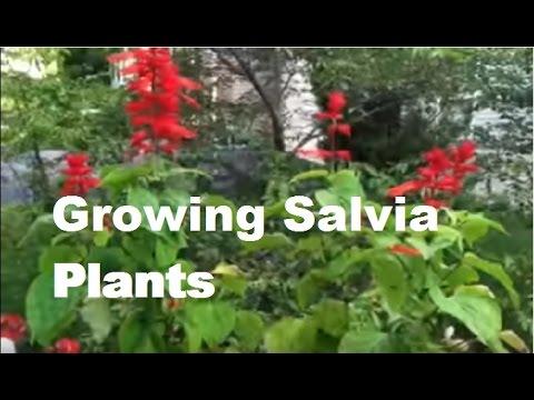 Red Salvia Flowers How To Grow Scarlet Sage Plants Growing Flowering 2017