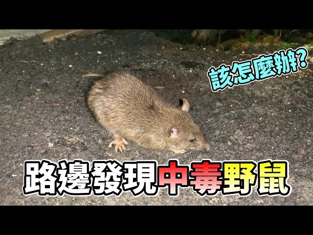 【維鼠日記】路邊發現中毒野鼠!我該怎麼辦?【維特】#26 |Found poisoned rat!Do you know how to do it?