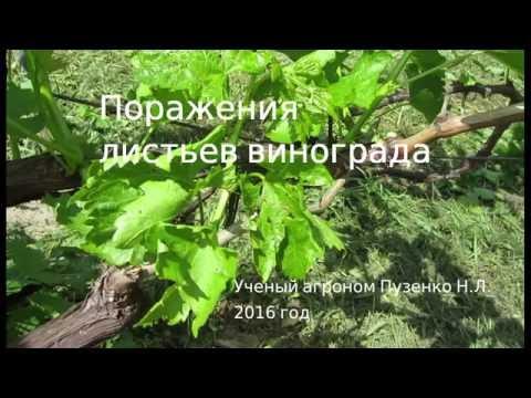 Поражение листьев винограда