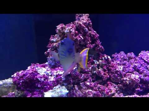 Crosshatch Triggerfish Pair