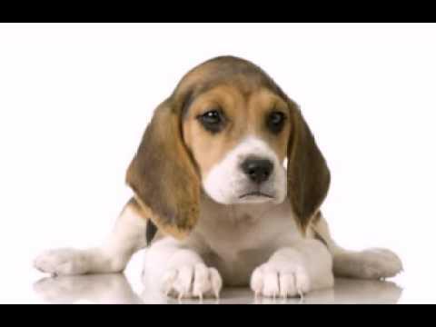 Happy Birthday to You - Daisy the Beagle