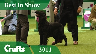 Flat Coated Retriever Wins Best In Show at Crufts 2011 | Crufts Dog Show