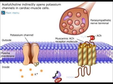 Potassium channel