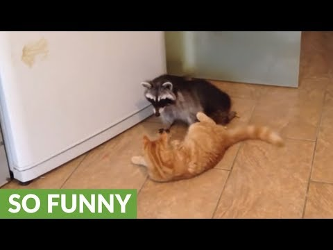 Cat And Raccoon Share Incredibly Unique Friendship