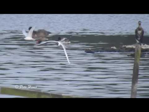 Roseate Tern at Pennington Flash