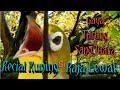 Masteran Terbaru  Kecial Kuning Lombok Gacor Untuk Kecial Macet Dan Males Bunyi  Mp3 - Mp4 Download