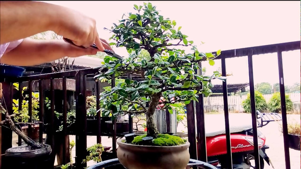 Fukien Tea Bonsai Trimming Youtube
