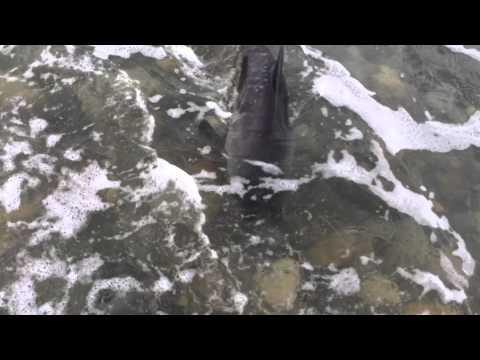 Dog Saves Baby Dolphin on Criccieth Beach