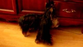 Sexy Yorkshire Terrier Female In Heat. Teacup Dog In Heat! Sexy Chienne Femelle Yorshire En Chaleur!
