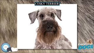 Cesky Terrier  Everything Dog Breeds