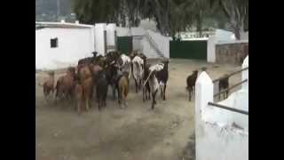 EL DESTETE EN LA PALMOSILLA.wmv