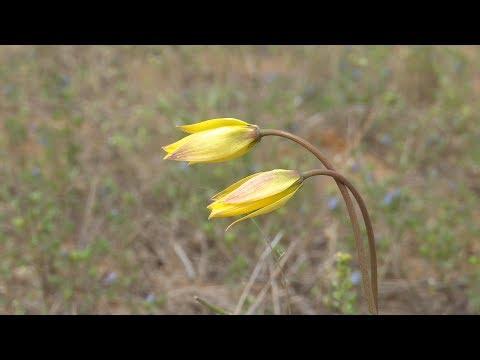 Тюльпан Биберштейна или желтый тюльпан Шренка