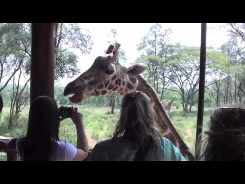 "Giraffe ""Kissing"" at Nairobi Giraffe Center"
