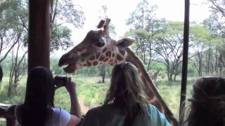 "Giraffe ""Kissing"" at Nairobi Giraffe Center"