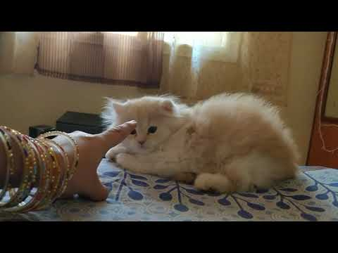 Persian doll face kittens wants to play 😍💕 MUST WATCH!! Available for sale 🔥