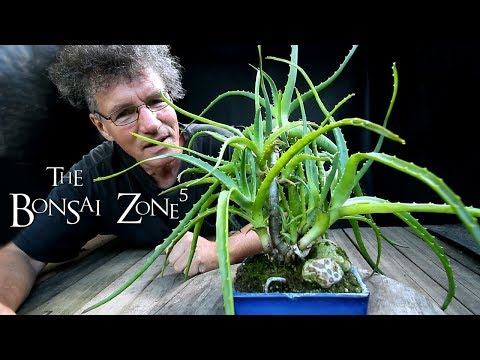 my-aloe-bonsai-and-more,-part-1,-the-bonsai-zone,-aug-2018