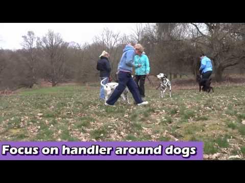 Henry - Belgian Malinois x Dutch Herder - 2 Week Residential Dog Training - barking at dogs