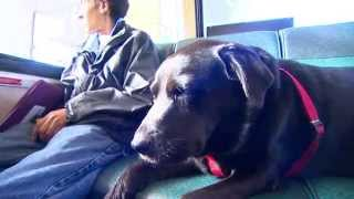 Leashless In Seattle: Meet A Solo Bus-riding Dog