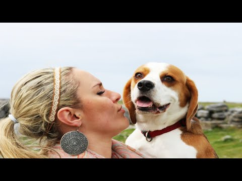 Why You Should Get a Beagle Funny Dog Compilation