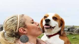 Why You Should Get A Beagle:awesome Dog Tribute To All Beagles