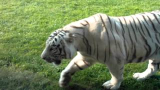 atak tygrysa bialego