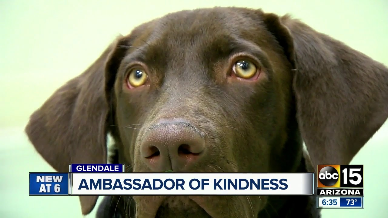 A Glendale Therapy Dog Is Training To Be An Ambassador Of Kindness