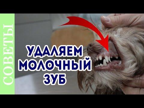Как удалить молочный зуб у собаки. Смена зубов.