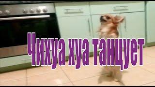 Chihuahua dancing.Чихуахуа танцует.Собака танцует.
