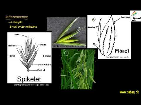 Family Poaceae | 1st year Biology | swap education portal