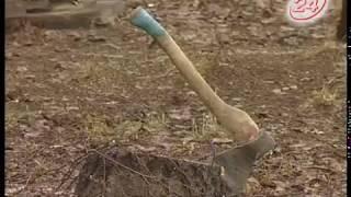 Сруб берез ради новых труб