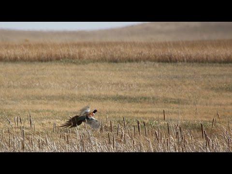2016 Pheasant Season Preview - NDGNF