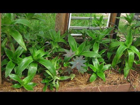 Вопрос: Что за растение дихоризандра Чем полезен Как применять?