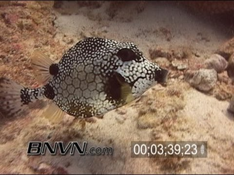 7/2/2005 Smooth Trunkfish Or Boxfish Video.