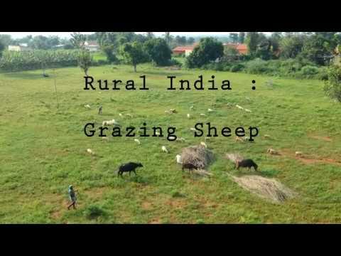 Rural India : Sheep Grazing