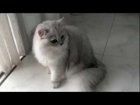 Male Silver-shaded Chinchilla Persian Cat