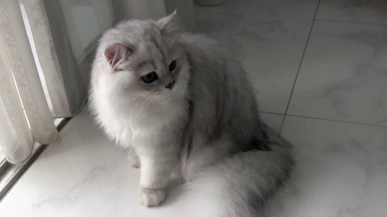 Where to buy persian cat in singapore