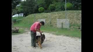 訓練の様子 詳しい内容は清水警察犬・家庭犬訓練所まで http://www.shim...