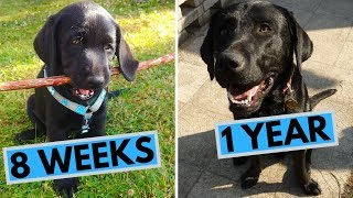 Black Labrador Puppy 8 Weeks to 1 Year - From Puppy to Dog
