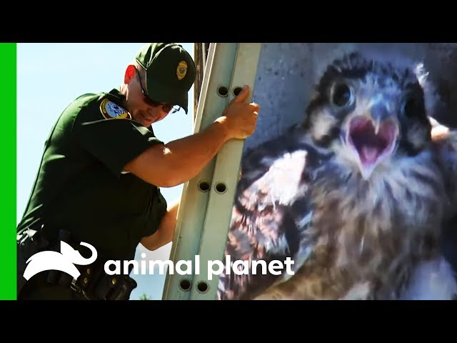 Baby Kestrel Rescued By Conservation Officer | North Woods Law