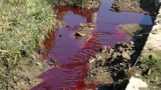 Krew tryskająca spod ściany płotu ubojni w  Rzepnikach