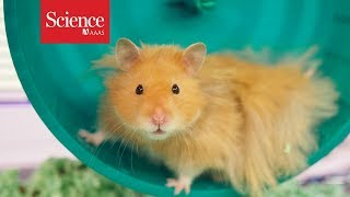 How do you take a hamster's pulse?