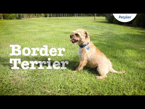 Border Terrier Dog Breed: Temperament, Lifespan & Facts | Petplan