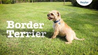 Border Terrier Dog Breed: Temperament, Lifespan & Facts | Petplan