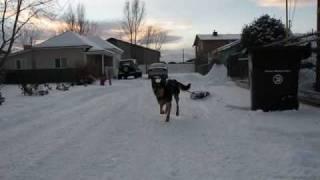 Chinnok Dog Training To Mush - Funny